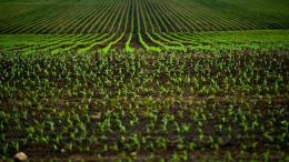 bigstock-Corn-Fields-50193905